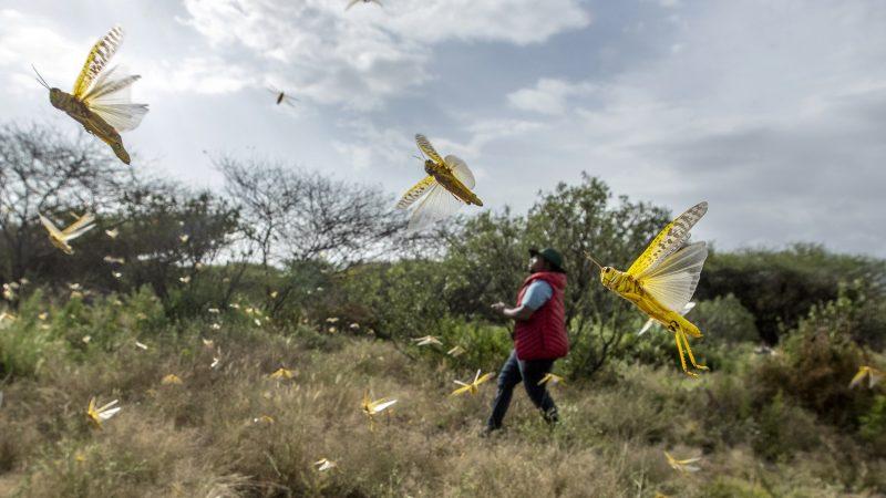 টেকনাফে এসে পড়ছে পঙ্গপাল : ফসল ধ্বংসের আশঙ্কা